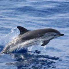 Con Tethys nel Mar Ligure tra balenottere, capodogli e delfini